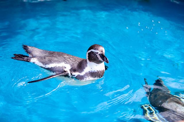 水族館のプールに浮かぶペンギンの写真