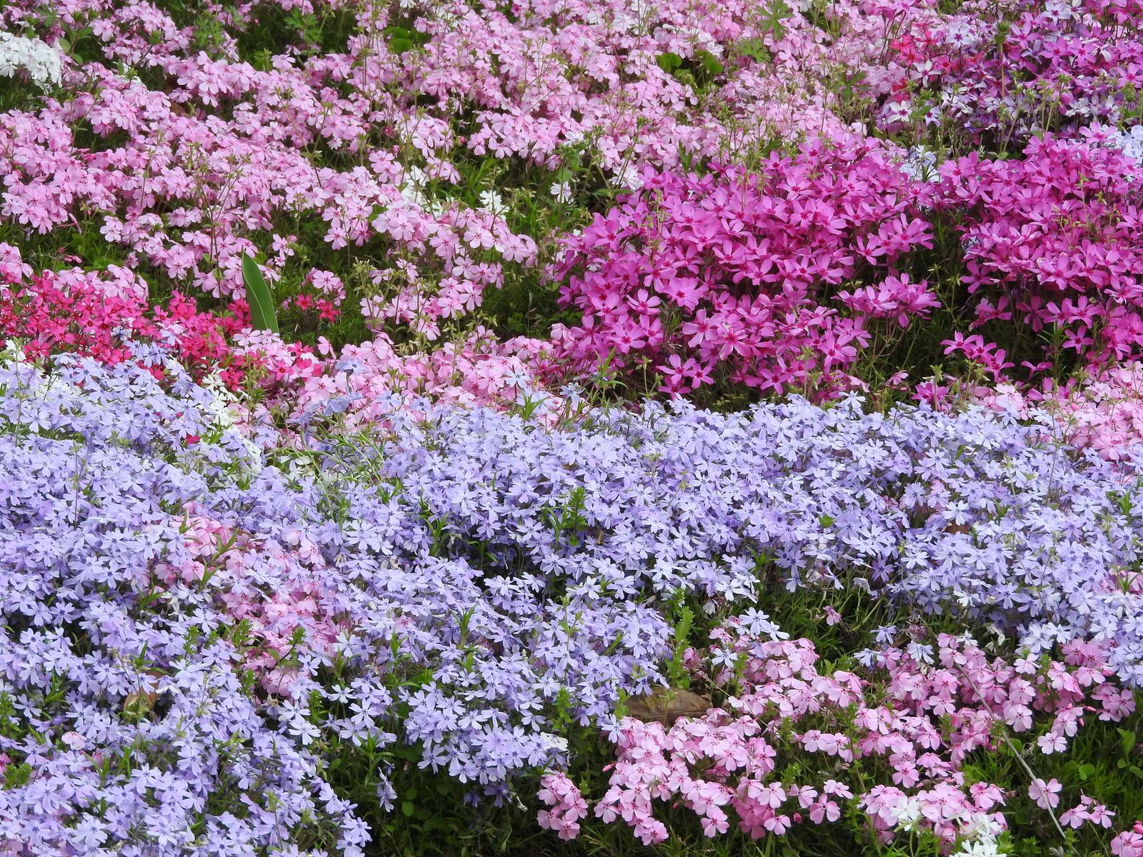「シバザクラ(芝桜)」の写真