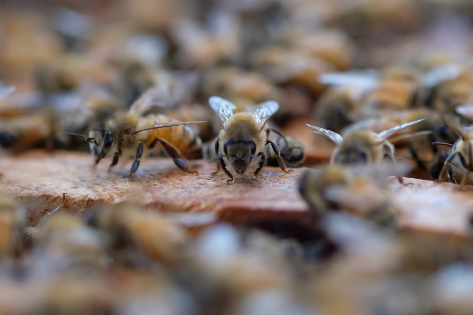 「巣箱の上をウロウロするミツバチ」の写真