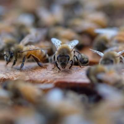 「巣箱の上をウロウロするミツバチ」の写真素材