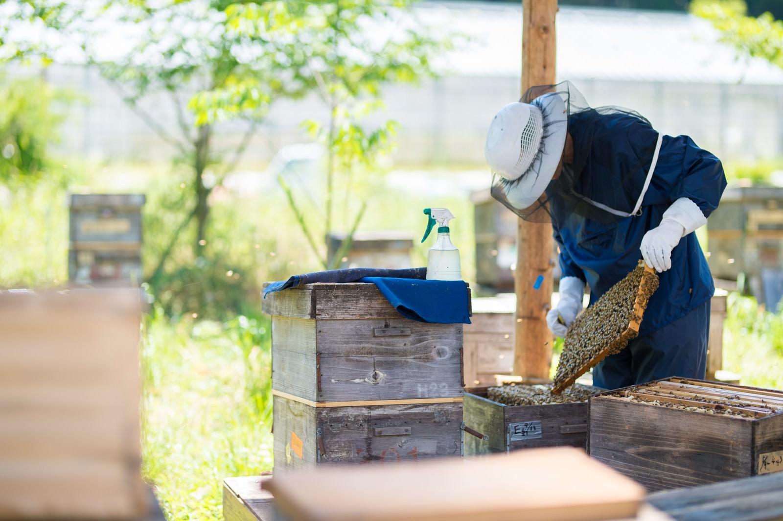 「蜜蜂の巣板を丁寧に管理する養蜂家」の写真