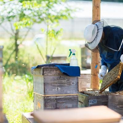 「蜜蜂の巣板を丁寧に管理する養蜂家」の写真素材