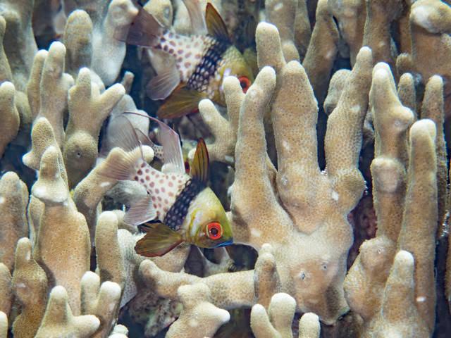 マンジュウイシモチと珊瑚の写真