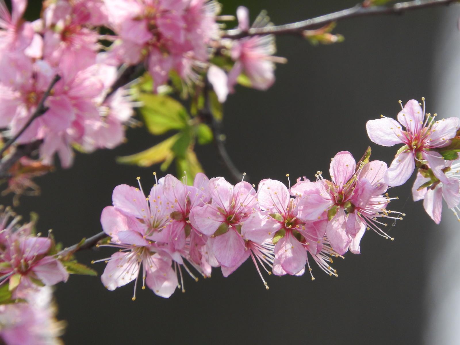 「ニワウメ(庭梅)」の写真