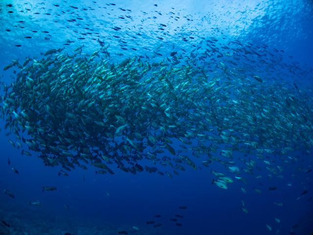産卵のために集まるバラフエダイの群れの写真