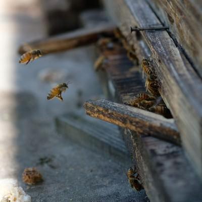 「巣箱の入口と蜜蜂(養蜂場)」の写真素材