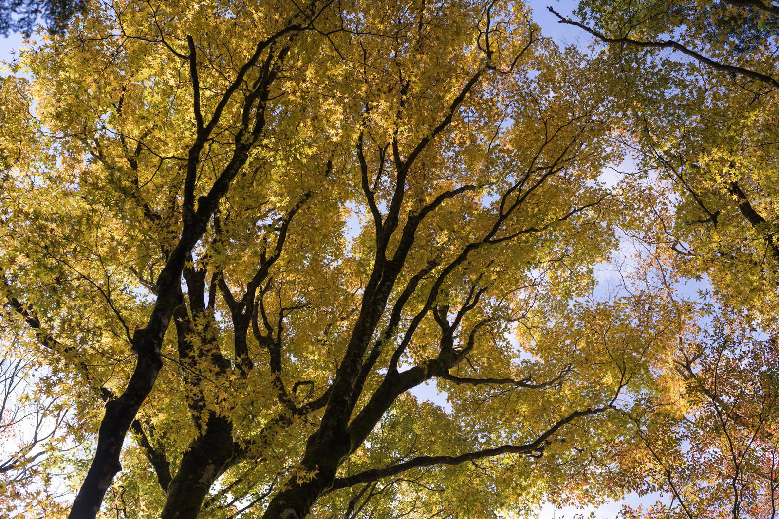 「鮮やかな黄色に染まるブナ(天城山)」の写真