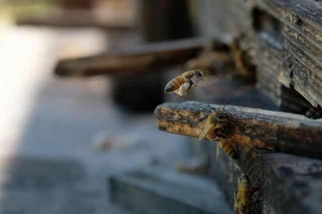 花粉団子を巣箱に持ち帰る蜜蜂の写真
