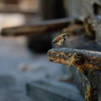 「花粉団子を巣箱に持ち帰る蜜蜂」の写真素材