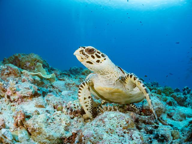ゆっくりと泳ぎだすタイマイ(ウミガメ)の写真