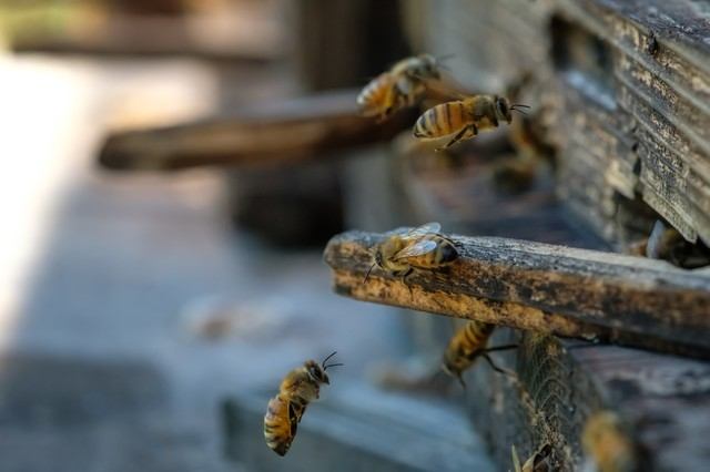 自分の巣箱に戻る働き蜂の写真
