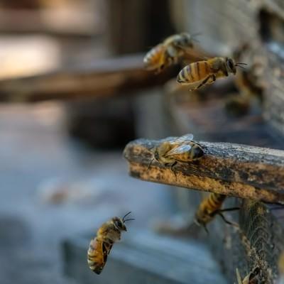 「自分の巣箱に戻る働き蜂」の写真素材