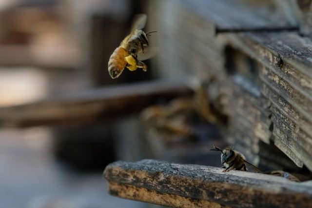 花粉を持ち帰る蜜蜂の写真