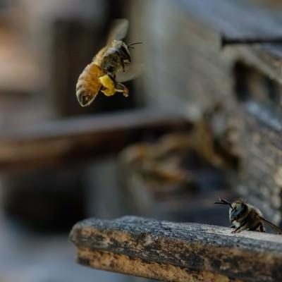 「花粉を持ち帰る蜜蜂」の写真素材