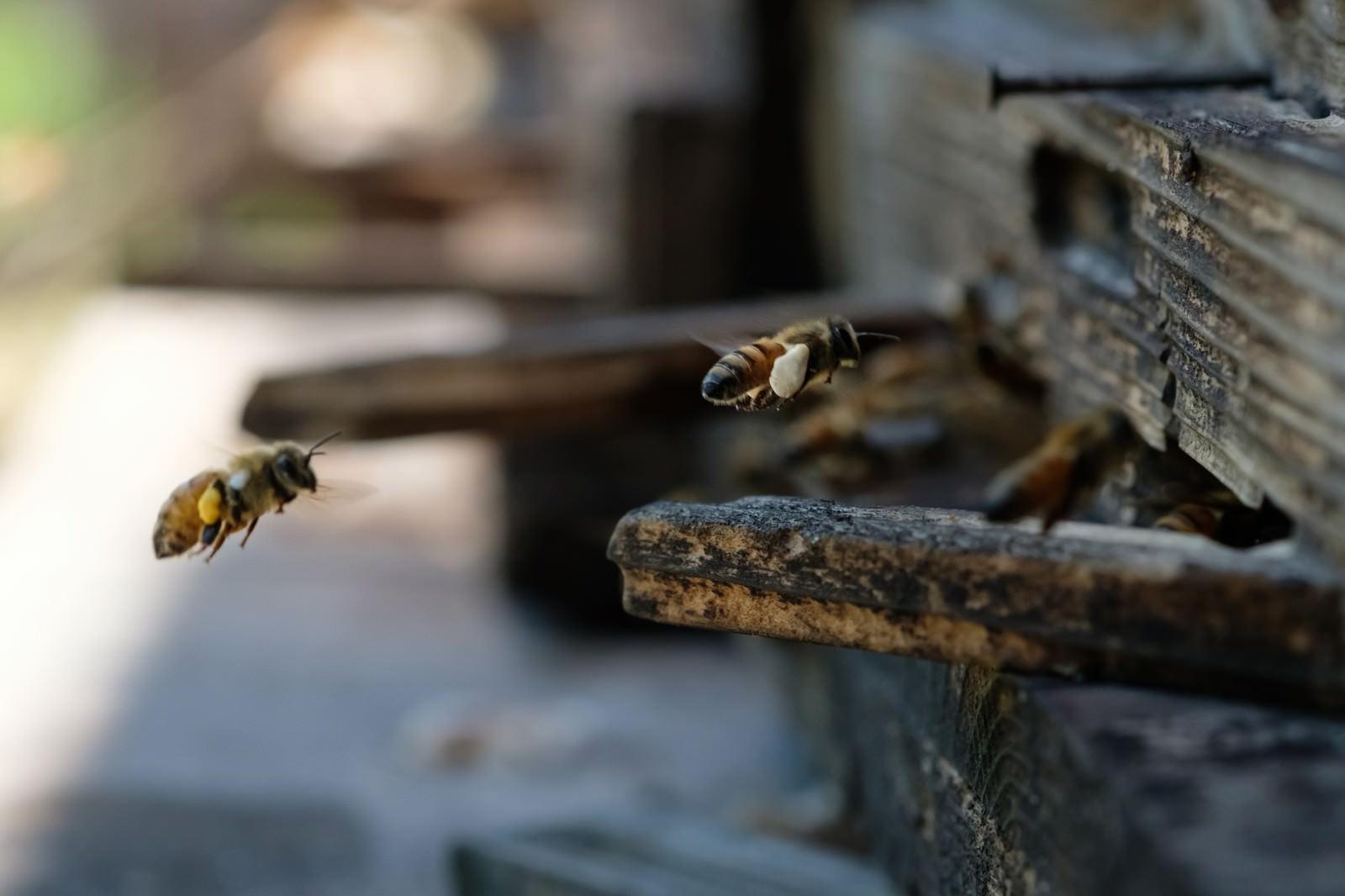 「花粉を巣箱に持ち帰る働き蜂 | 写真の無料素材・フリー素材 - ぱくたそ」の写真