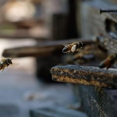 「花粉を巣箱に持ち帰る働き蜂」の写真素材