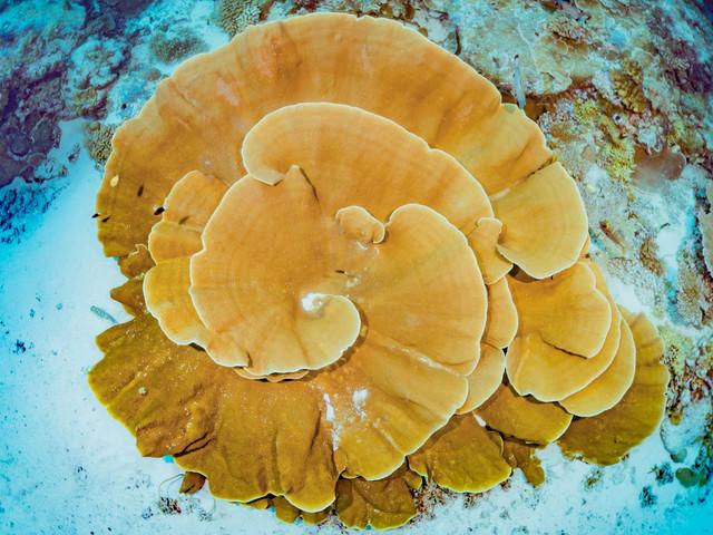 大きく渦を巻いたテーブル珊瑚の写真