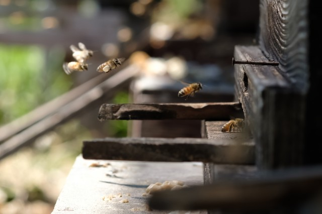 働き蜂が巣箱に帰ってくる様子の写真