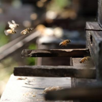 「働き蜂が巣箱に帰ってくる様子」の写真素材