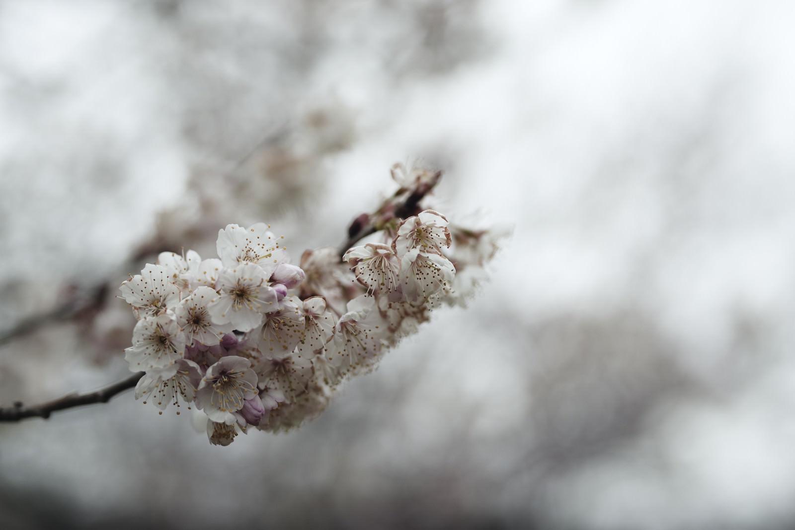 「今にも朽ちゆく彼岸桜(ヒガンザクラ)」の写真