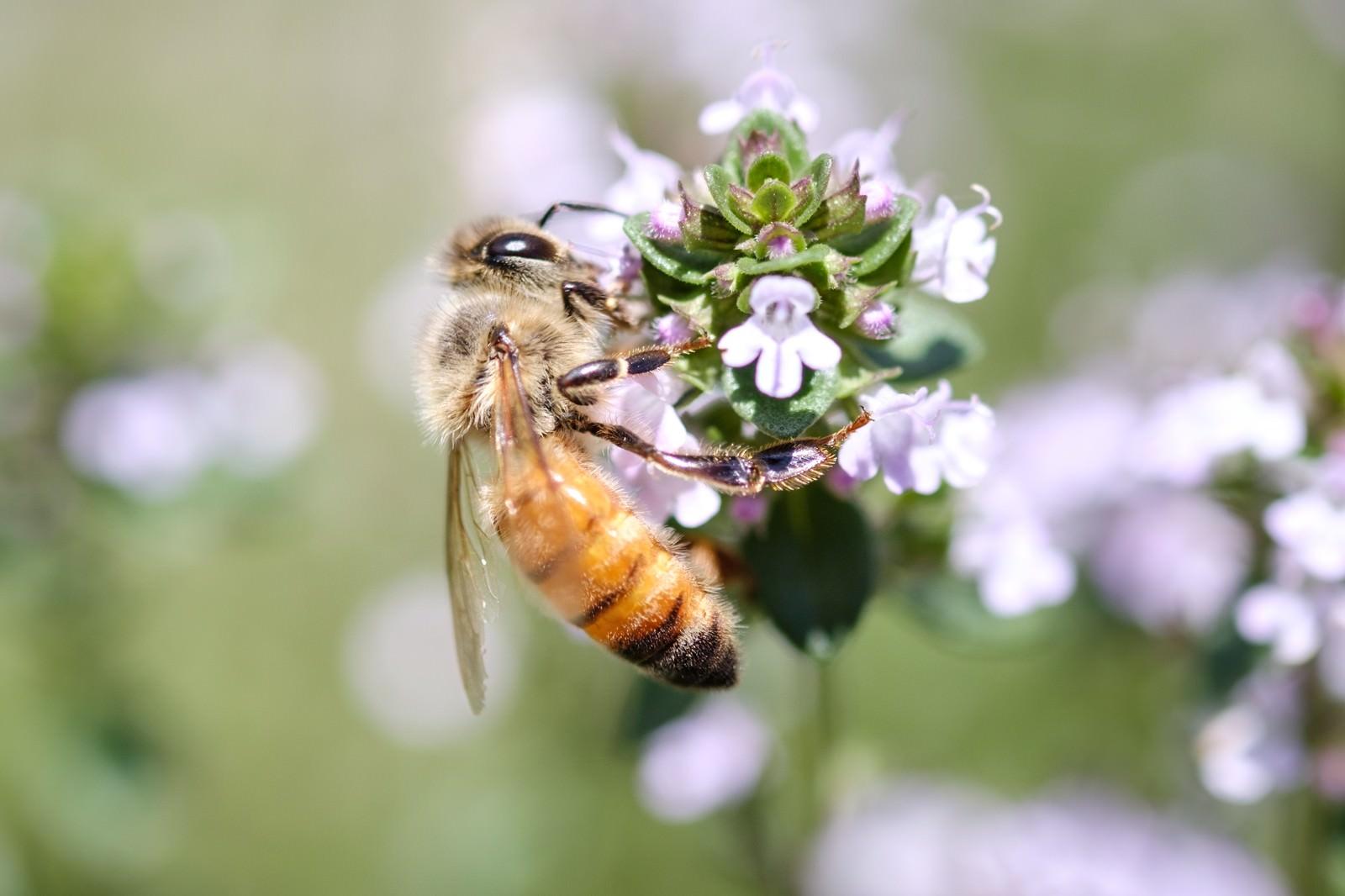 「ハーブから吸蜜するセイヨウミツバチ」の写真