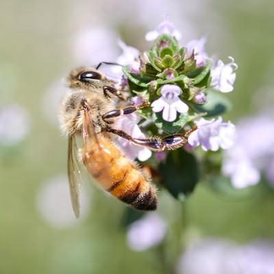 「ハーブから吸蜜するセイヨウミツバチ」の写真素材