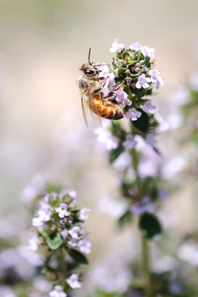 ハーブの花から蜜を吸う蜜蜂の写真