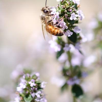 「ハーブの花から蜜を吸う蜜蜂」の写真素材