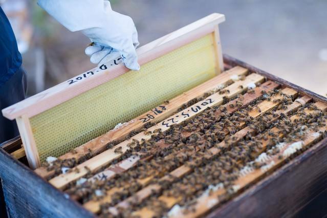 新しい蜜板を巣箱に入れるの写真