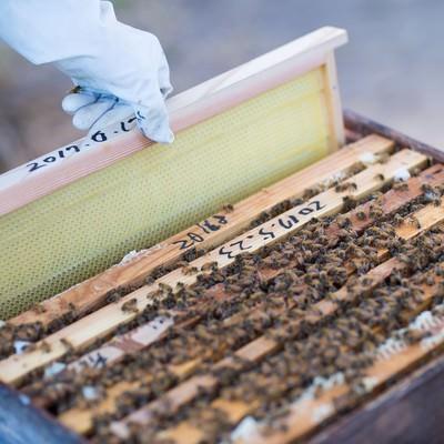 「新しい蜜板を巣箱に入れる」の写真素材