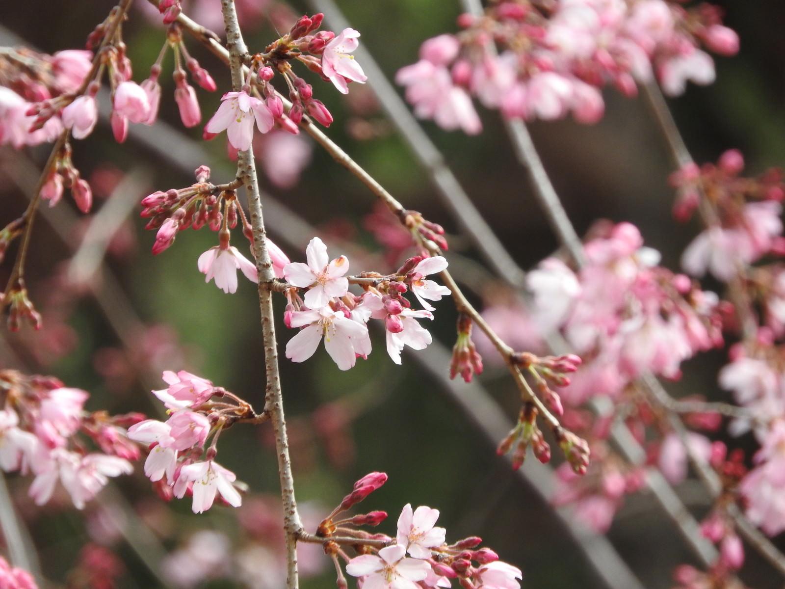 「枝垂れ桜」の写真