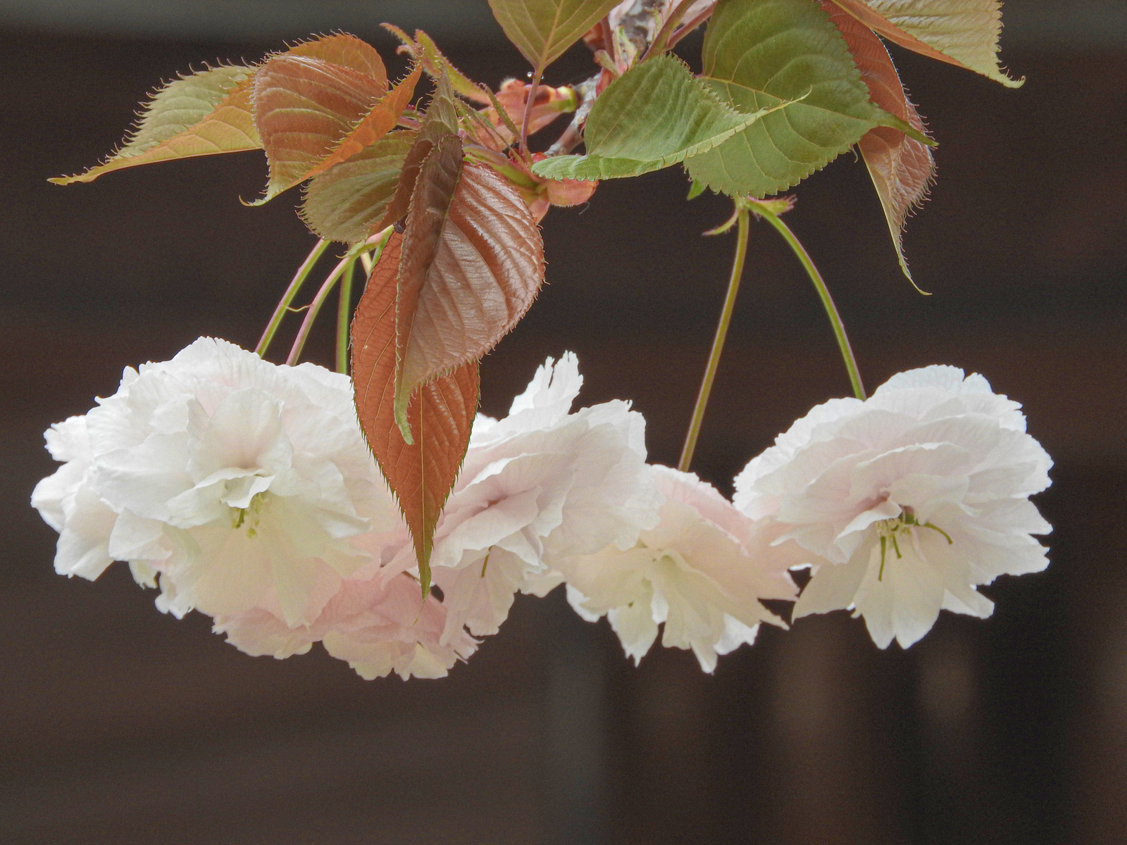 「白い八重桜」の写真