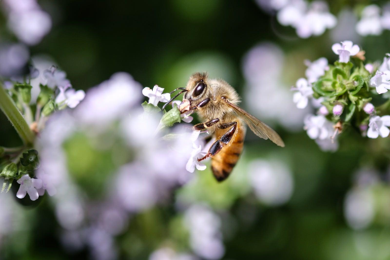 「花の蜜を吸うミツバチ」の写真