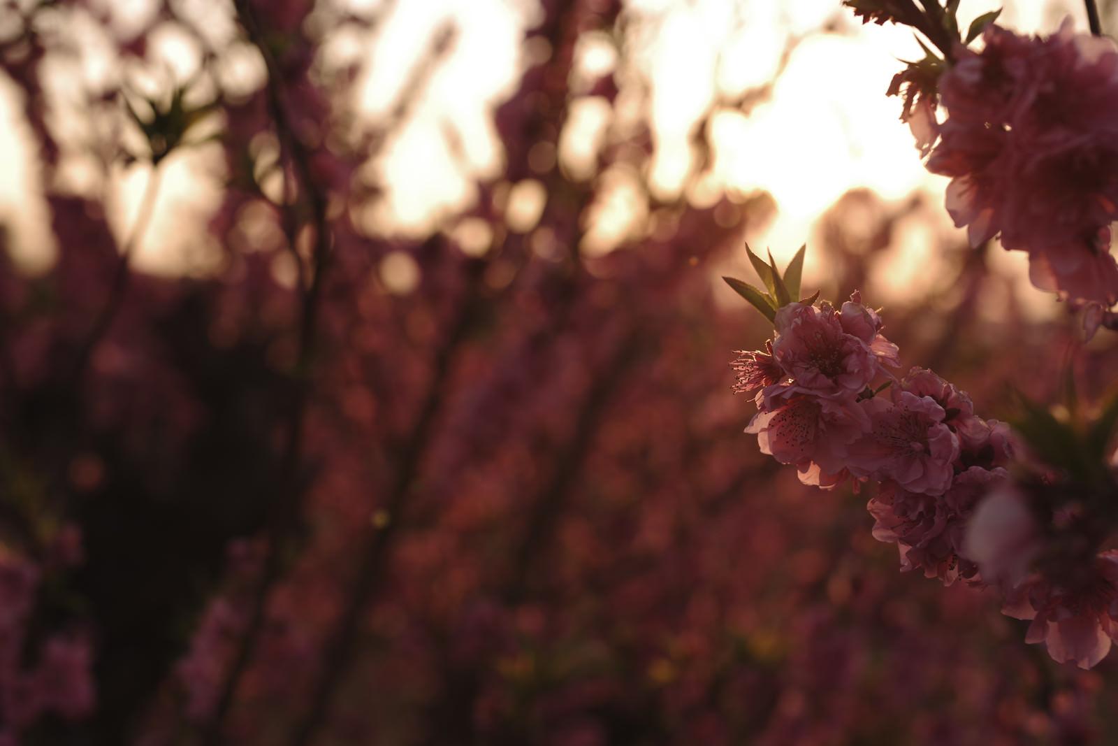 「夕日に浮かび上がる梅の花」の写真