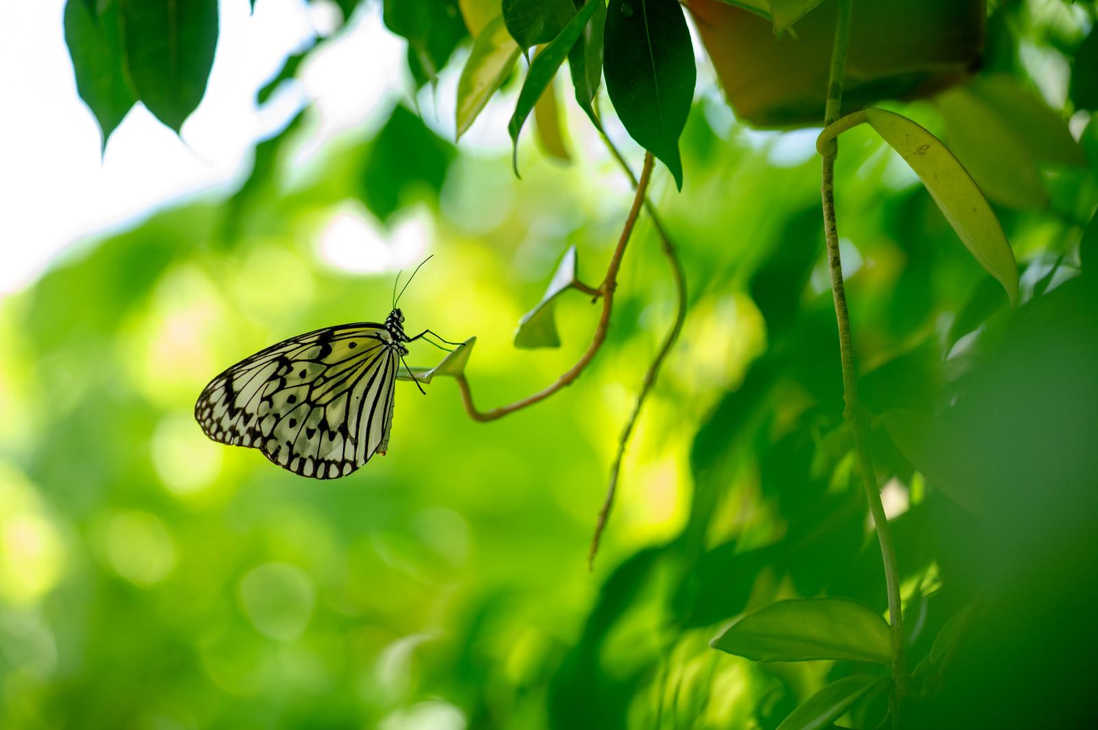 「オオゴマダラ(蝶)」の写真