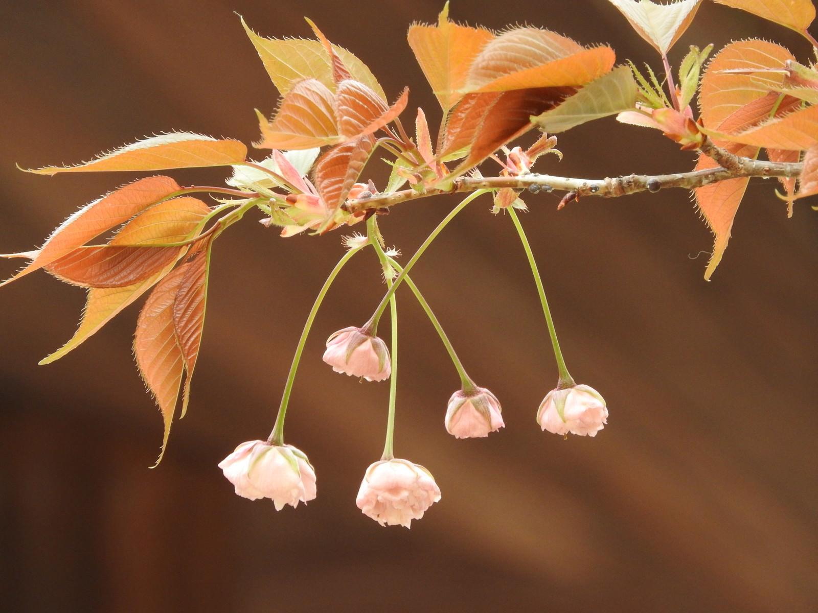 「花開く前の八重桜」の写真