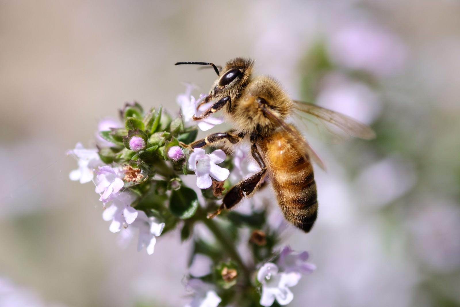 「ハーブから吸蜜する働き蜂ハーブから吸蜜する働き蜂」のフリー写真素材を拡大