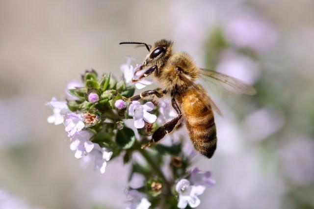 ハーブから吸蜜する働き蜂の写真