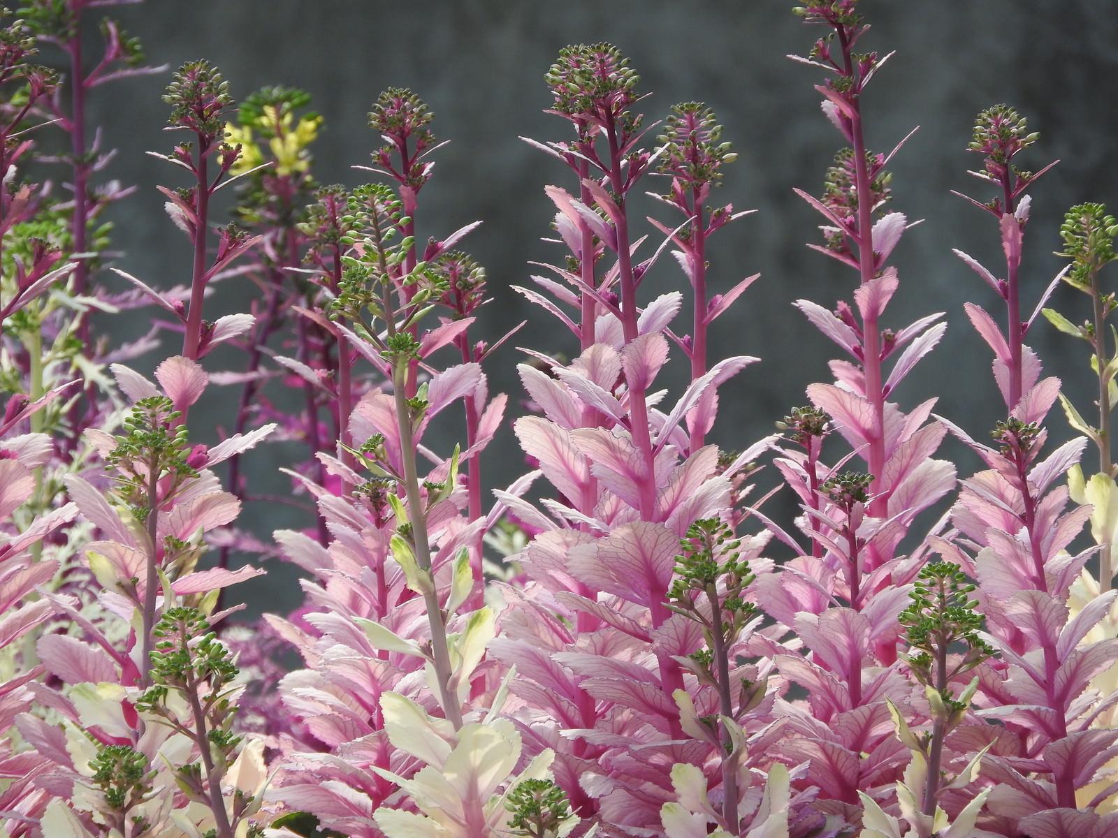 「葉ボタンの花」の写真