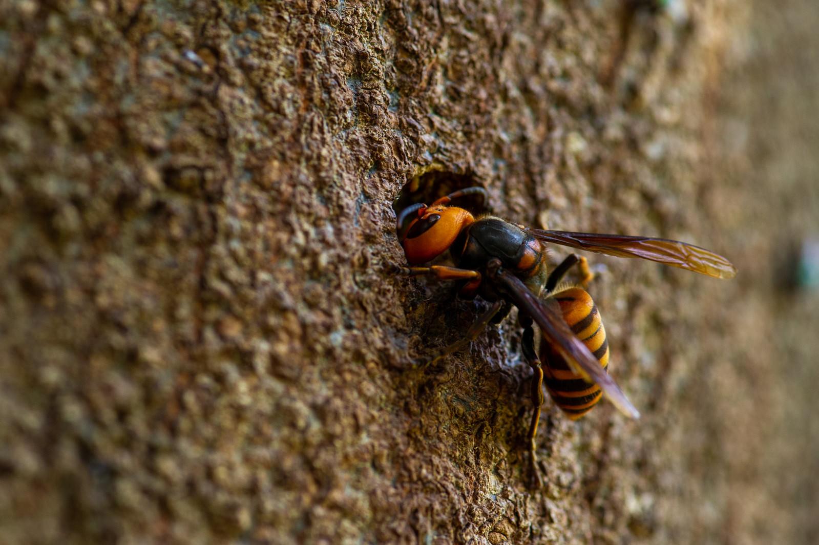 「顔を突っ込むオオスズメバチ」の写真