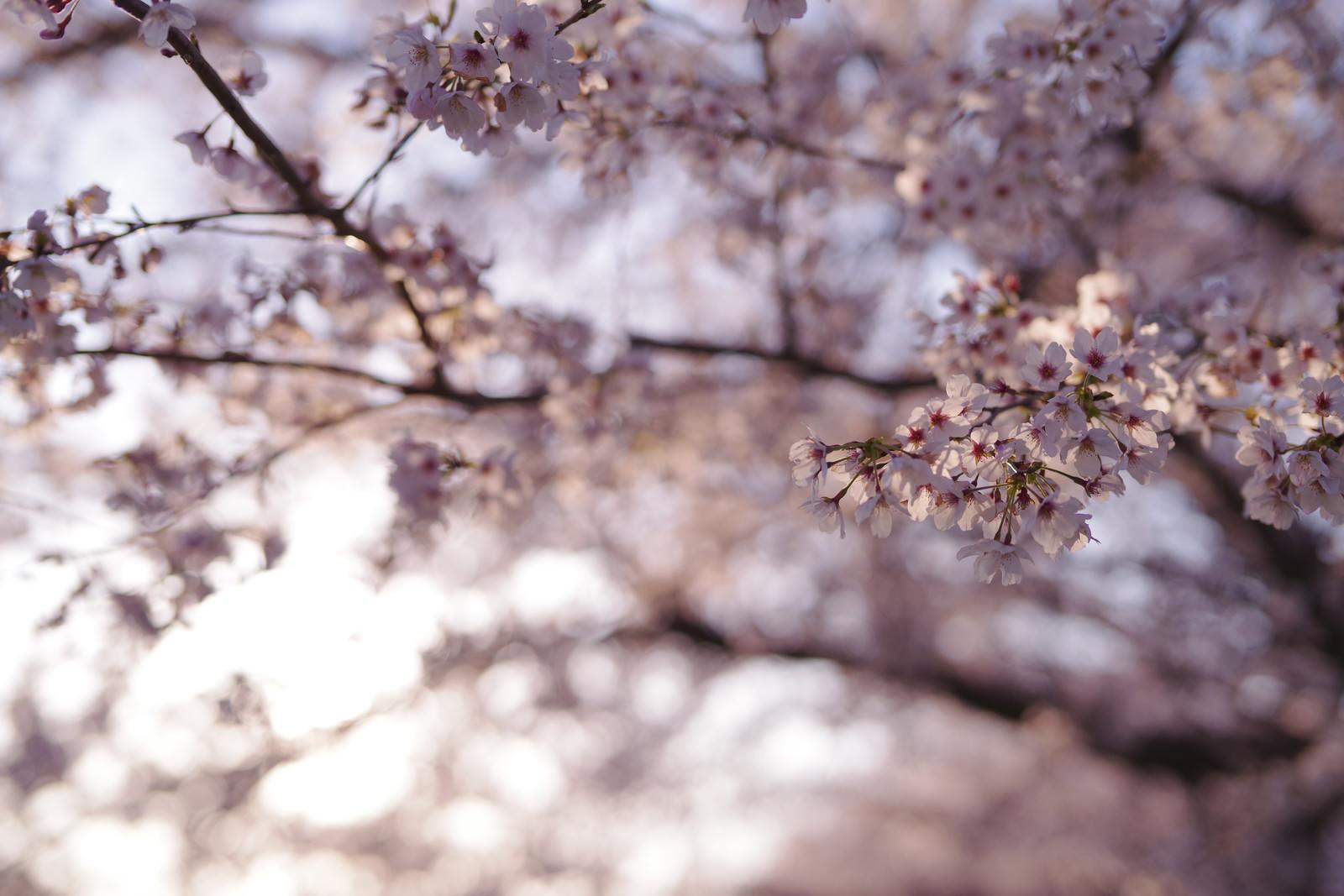 「夕日でピンクに染まる桜(ソメイヨシノ)」の写真