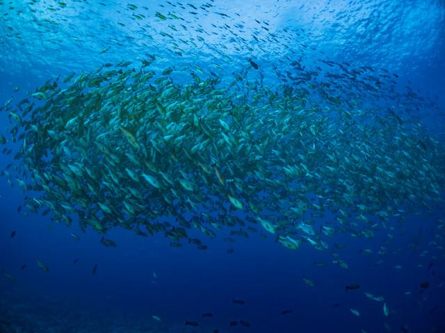 数千匹のバラフエダイの群れの写真