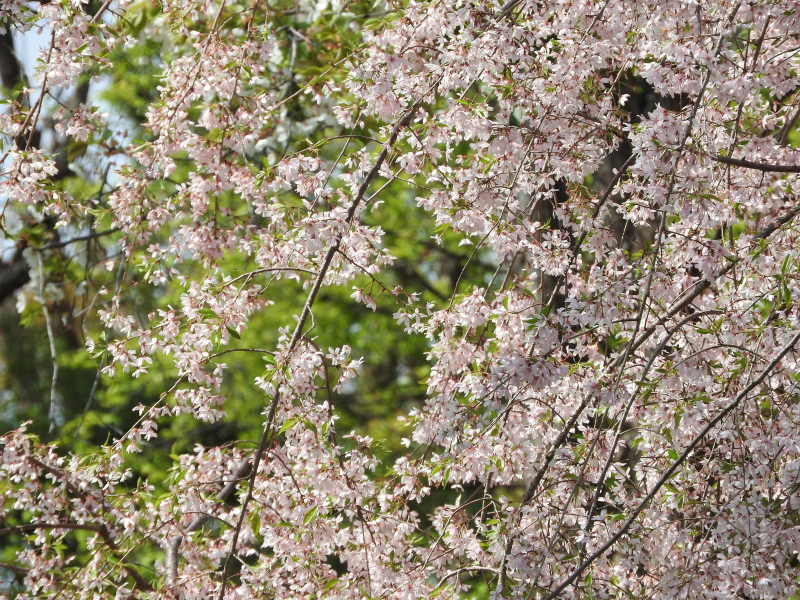 「枝垂れ桜の様子」の写真