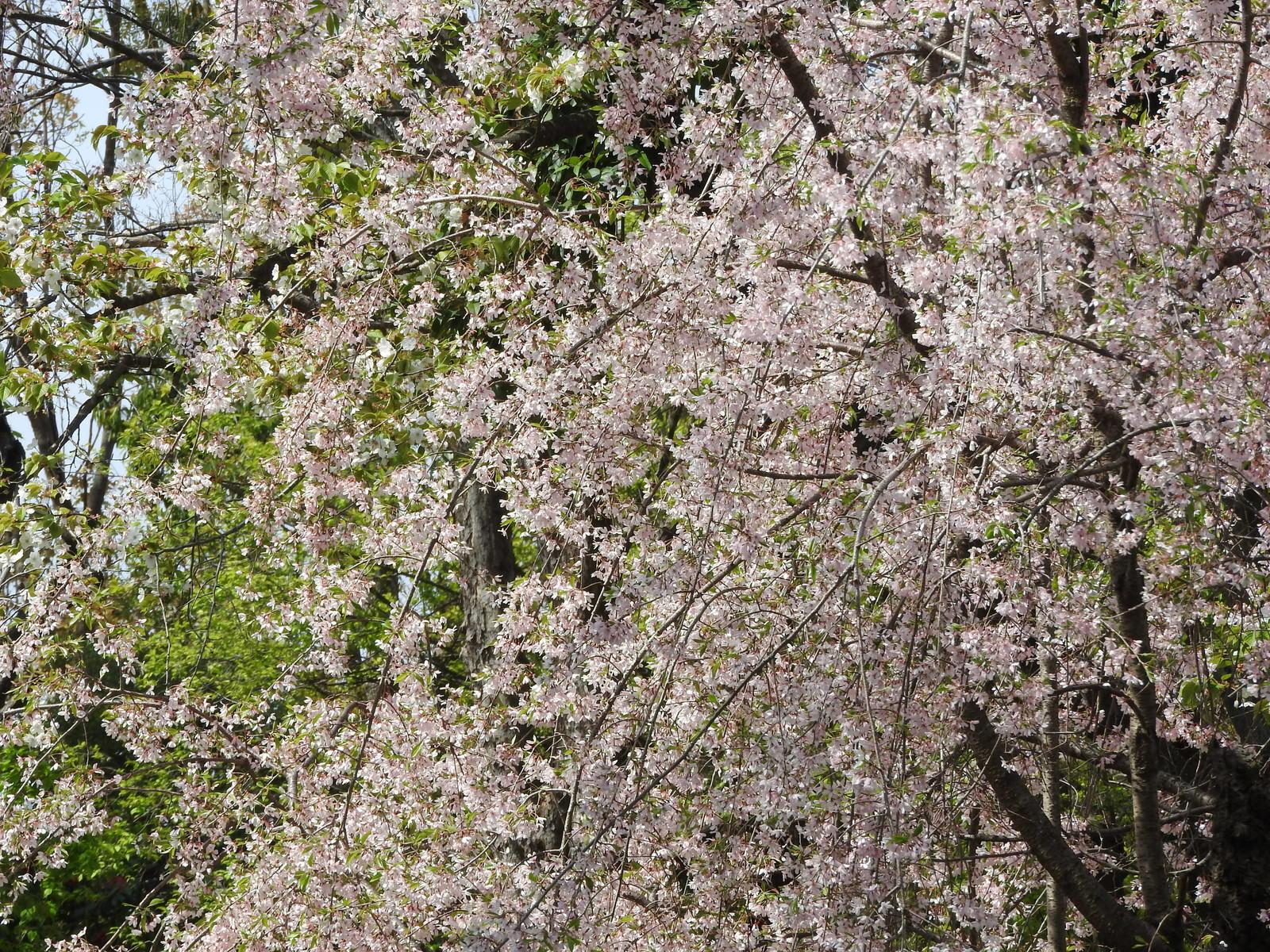 「枝垂れ桜(バラ科)」の写真