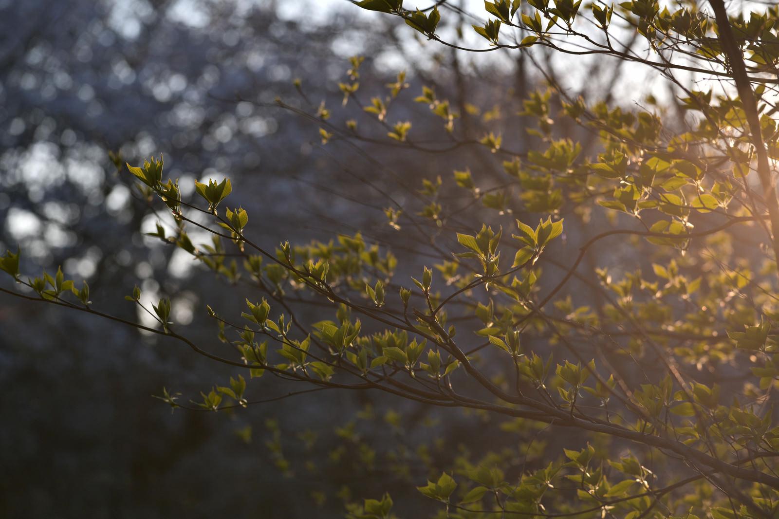 「夕日に浮かび上がる新緑の葉」の写真