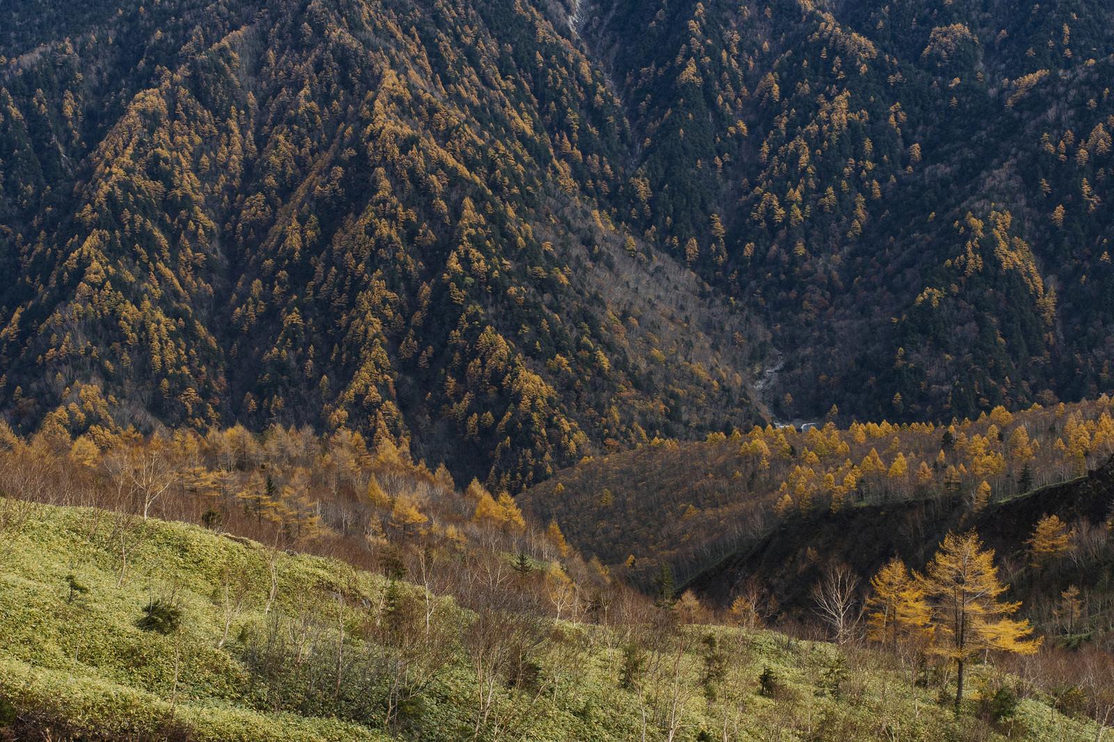 「焼岳と霞沢岳を彩るカラマツの黄葉」の写真