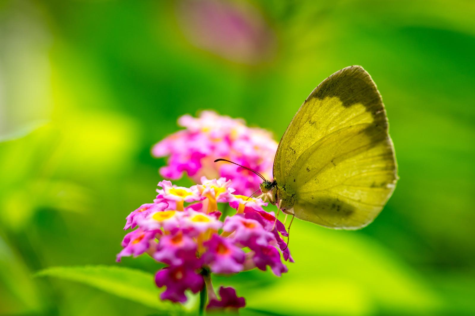 「蜜を吸うキチョウ」の写真