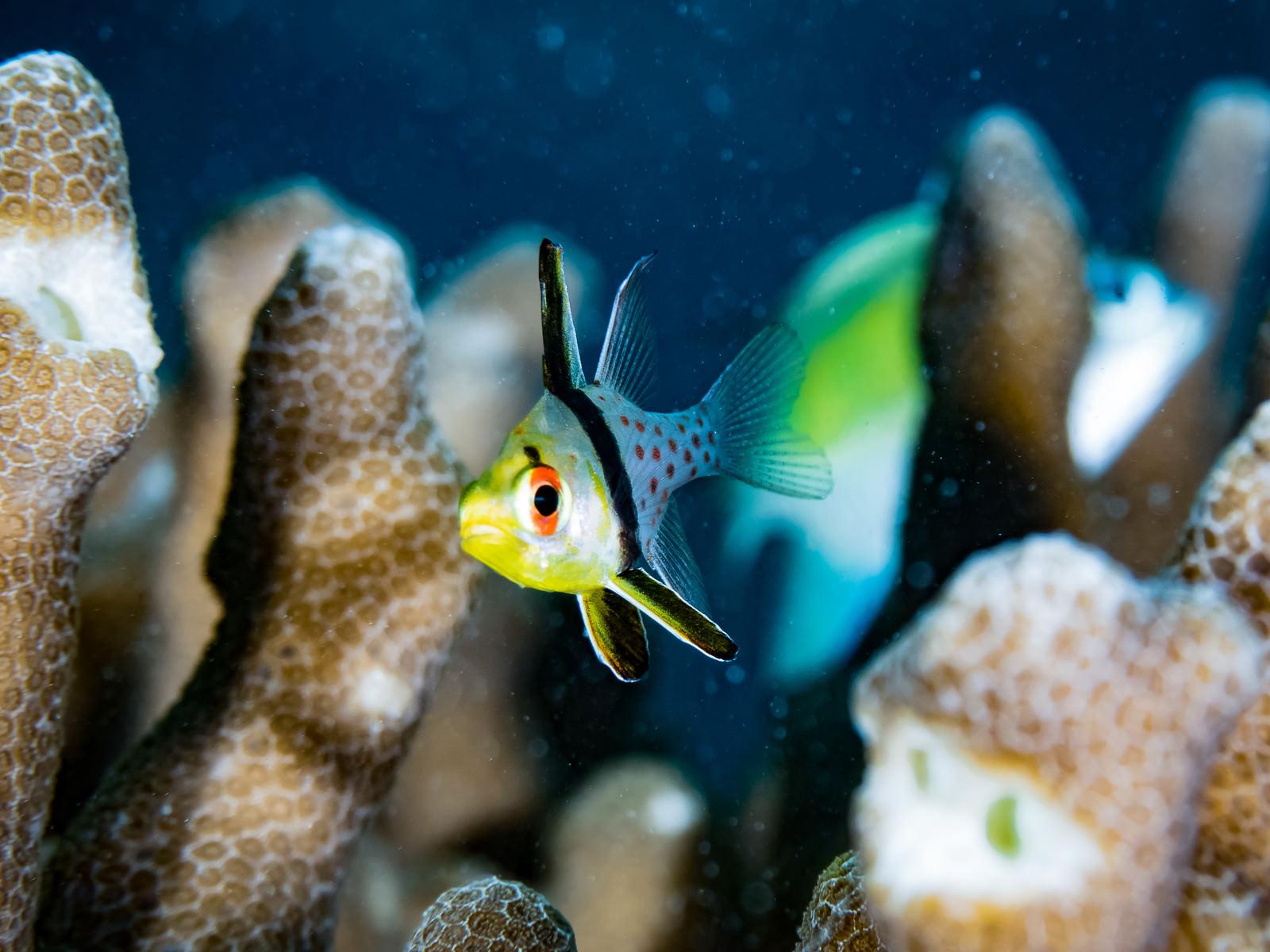 「珊瑚の側を泳ぐマンジュウイシモチ」の写真