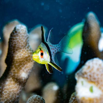 珊瑚の側を泳ぐマンジュウイシモチの写真