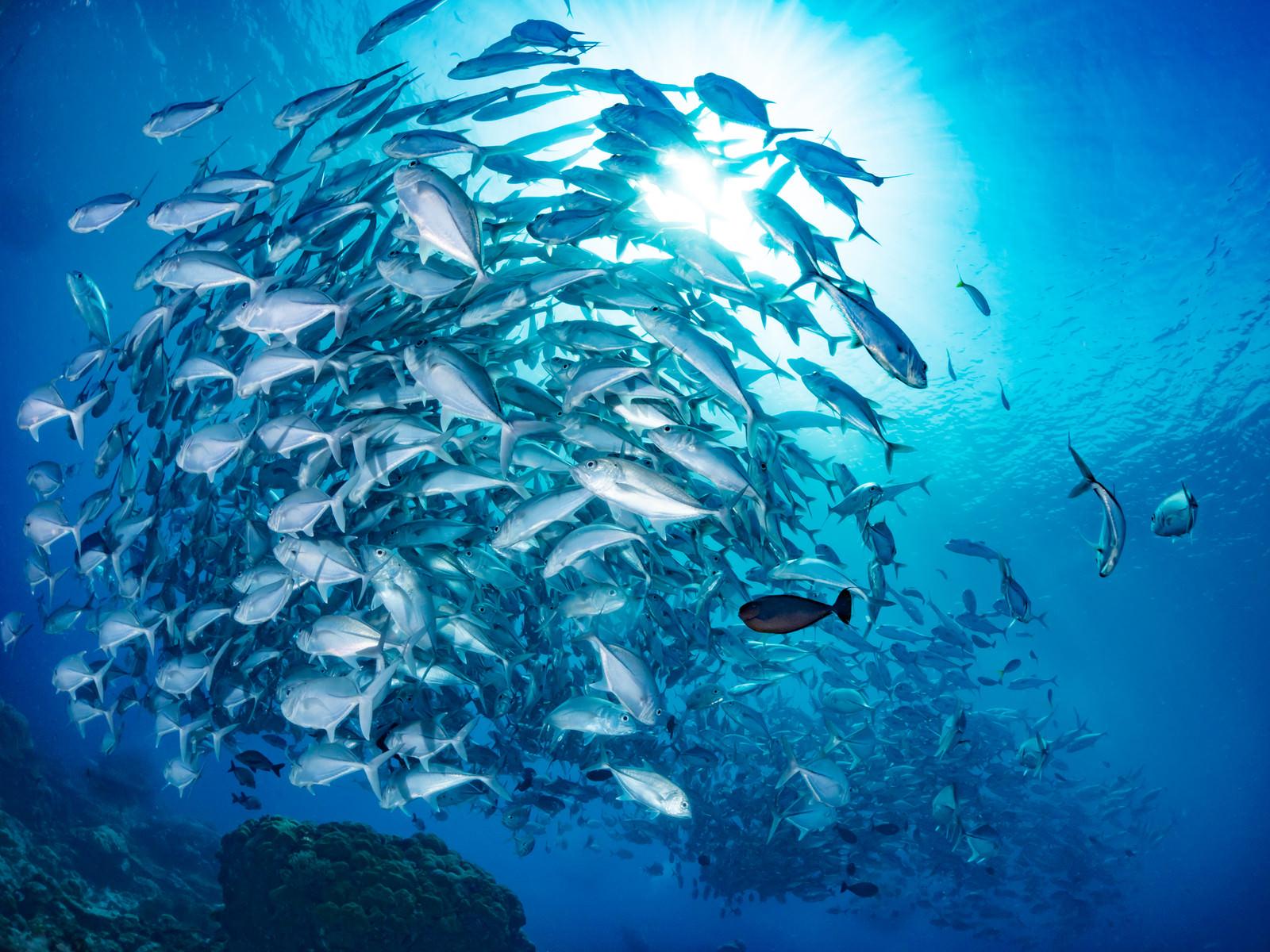 「輝くギンガメアジの群れ輝くギンガメアジの群れ」のフリー写真素材を拡大